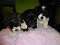 Beautful Bish Poo puppies for Sale!!!