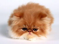 WANTED ASAP Male Persian cat AT LEAST 6 months