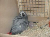 FOR SALE OR EXCHANGE BREEDING PAIR OF AFRICAN GREYS (WILD)