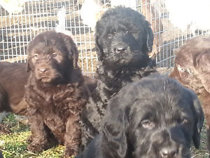 Labradoodle pups. Farm raised with love.