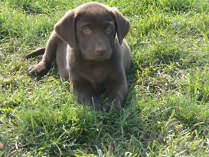 Chocolate Lab Puppies Ready to go!!