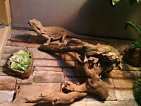 Dragon barbu et Gecko leopard + Grand vivarium double + Accessoi