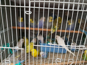 hand tame baby budgies forsale $50 each