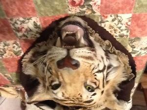 Full head mount Bengal Tiger Saguenay Saguenay-Lac-Saint-Jean image 4