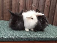 Baby lionlop bunnies ready now