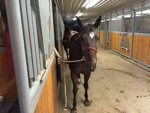 All around horse for sale