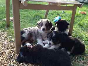 Mini Aussies ( Merle only )