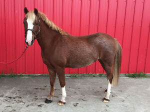 12 Year Old Welsh Pony