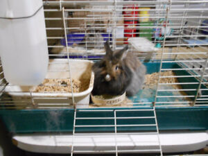 Fluffy Lionhead Bunny with Cage
