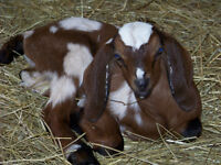 Purebred Nubian Buckling for sale (can be registered)