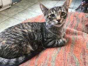 """Female tabbie kitten brown """"LETTIE"""" London Ontario image 5"""