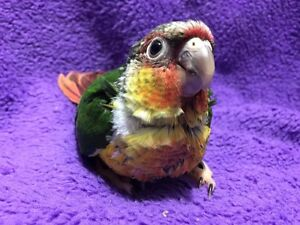 Red Green Cheek Conure Baby