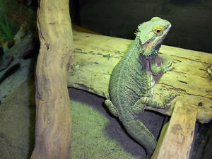 Mature Female Bearded Dragon and enclosure.
