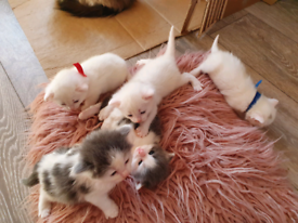 Kittens Ragdoll x Turkish van