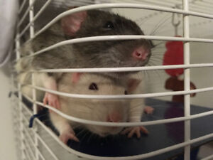 2 Male Rats + Cage & Accessories included