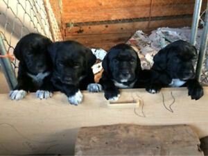 Puppies - Almost ready for their new home!