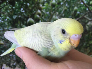 Hand Raised Tamed Fancy Budgie Babies