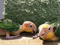 White Bellied Caique Chicks - female