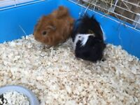 2 male Guinea pigs + cage SOLD
