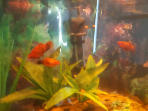 3 Free Male Platies for Rehoming