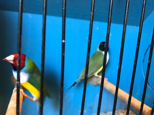 Gouldians finches for sale