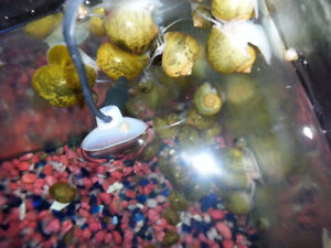 Young Apple/Mystery Snails for sale     .