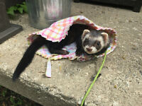 "Ferret: ""Mic"", an awesome, loving ferret looking for new home."