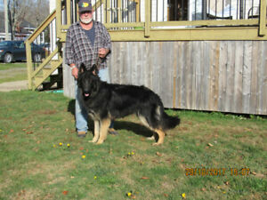 German Shepherd adult dogs and puppies available