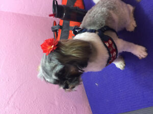 Small/med dog grooming