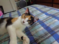 FREE FEMALE CALICO WHO ACTS LIKE A KITTEN