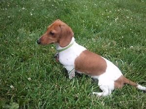 female dachshund wanted