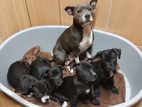Staff puppies for sale £450