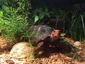 Looking for a Subadult to adult male Cherryhead tortoise