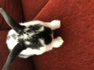 Rabbits mini Lop ear cross with mini Rex