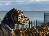 Sweet Harlequin Great Dane Georgia. From a Breeder. Spayed. Pet