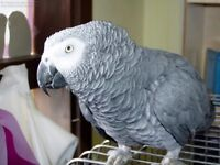 Male Congo African Grey