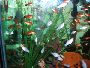 Community freshwater aquarium fish