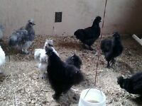 Chickens - Purebred Silkies