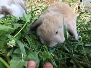 Baby Bunnies, Holland lops, Netherlands and lion heads.