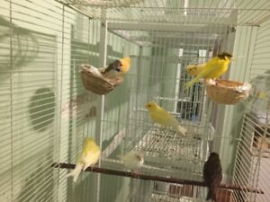 Breeders,Singers.Pairs of Canaries