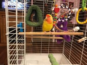 Lutina love bird.  Healthy happy active. Hut included