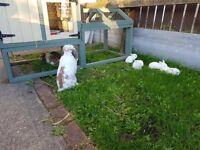 Mini Lop rabbit family £200