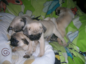 Gorgeous chunky pug puppies