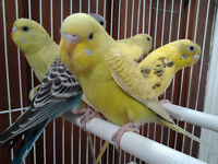 Tamed Budgies $ 35.00  For 2