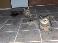2 Free Tabby Cats To A Caring Home
