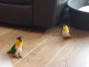 ❤♥☆♥ CAIQUE ♥ Babies with Cage and Food ♥☆♥❤ London Ontario image 4