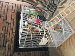 Two nice budgies  with cage