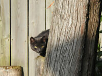 Mature DSH Cat looking for home- Free to good home