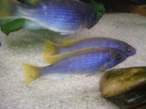 YELLOW TAIL ACEI CICHLIDS