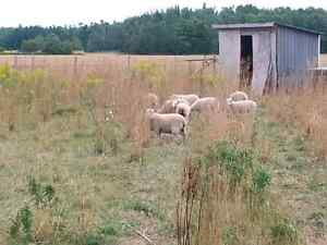 Small square Straw bales  and sheep Kitchener / Waterloo Kitchener Area image 2